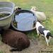 Beagle Bert tanking up at the sheep water trough