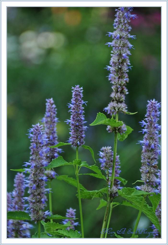 John\'s Garden ~ | More flowers from John\'s garden ... Our fr… | Flickr