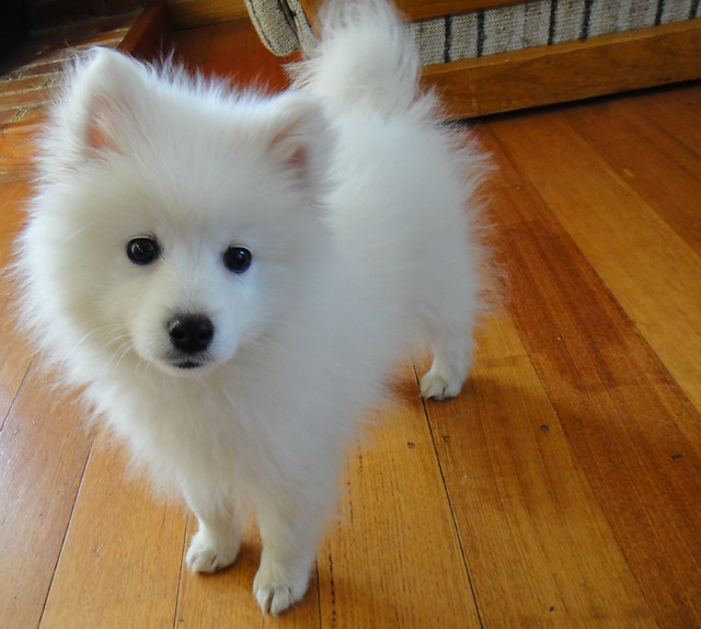 Fluffy White Dog With Pointy Ears