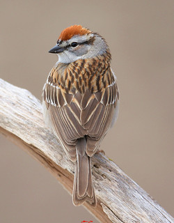 Chipping Sparrow 褐斑翅雀 | by ABERLIN2009