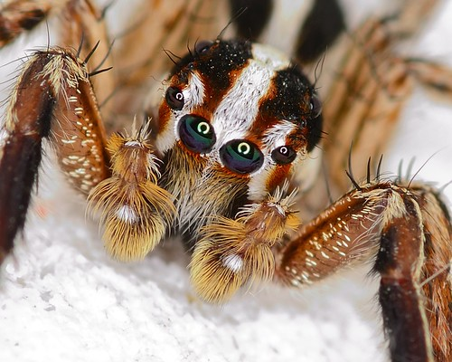 Jumping Spider Head | by Rene Mayorga