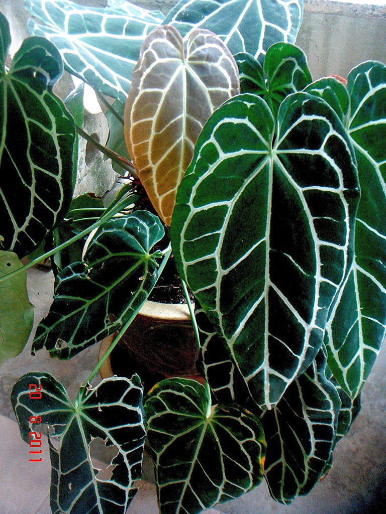 Anthurium crystallinum - Anthurium turenza ...