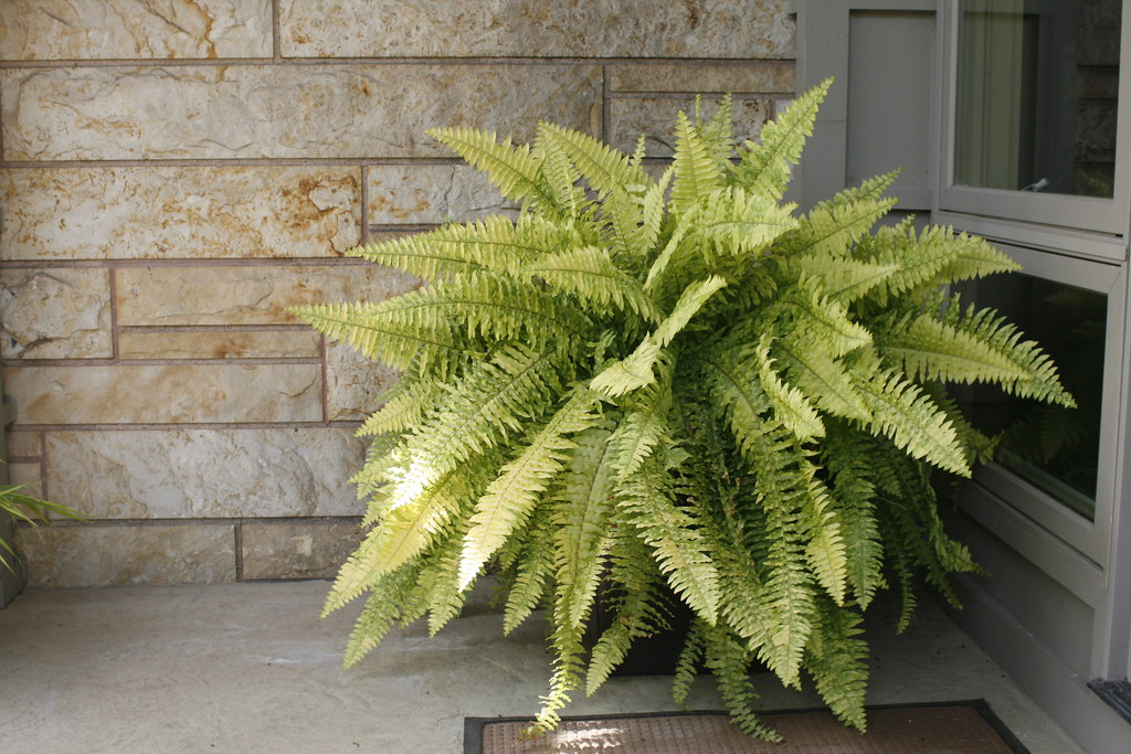 Variegated Boston Fern At Gwa2011 Indianapolis In Flickr