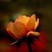 IMGP4859 Rose
