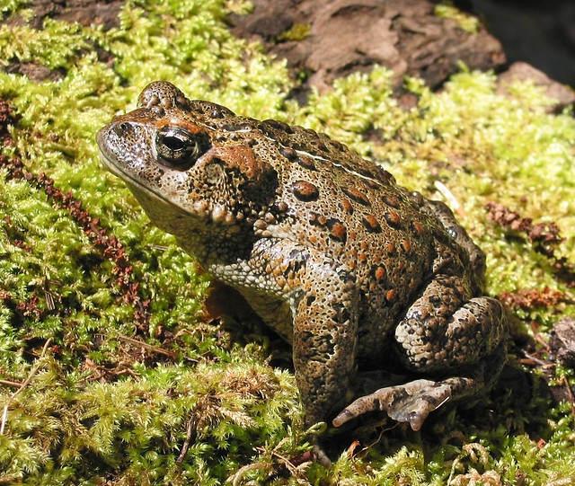 Western Toad Flickr Photo Sharing