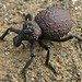 Weevil (Brachycerus sp.)