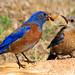 I will always miss my bluebird friends...{explored}