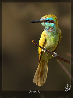 bee-eater | by Amrou A