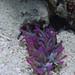 Condylactis gigantea, Giant Caribbean sea anemone, Punta Rucia, Dominican Republic