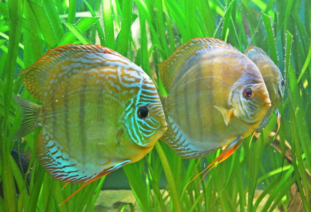 Sexual dimorphism in discus fish