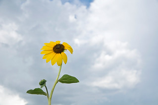 1108_0676 Prairie Sunflower | by wild prairie man