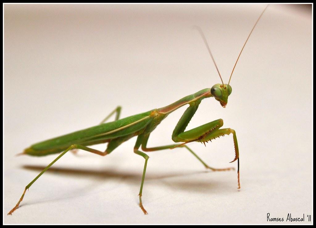 S 90 3 >> Campamocha | Praying Mantis Macro Side INFO: Sbrobist ...