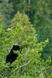 Bear cub eating pinecones | by Pat Ulrich