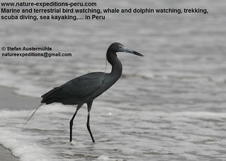 Little blue heron Birding Peru (7) | by Nature Expeditions 04