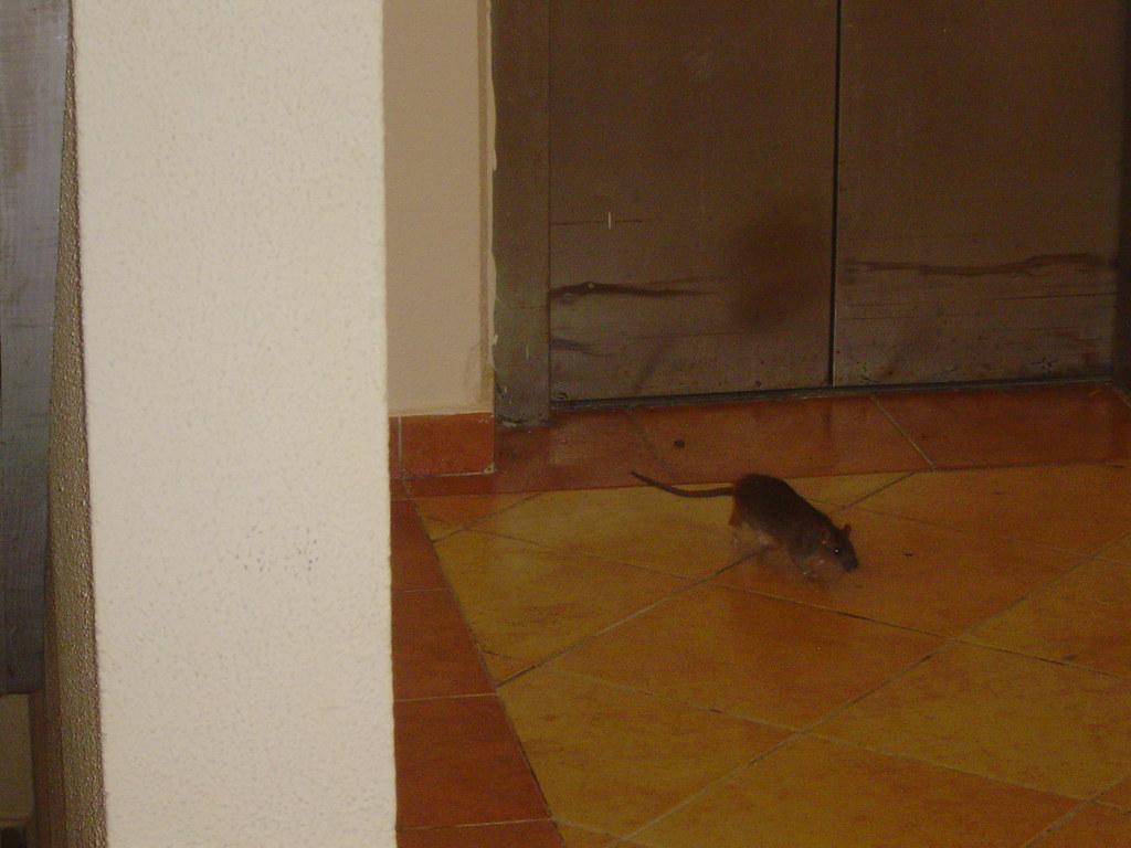 Hotel riu naiboa con ratas en habitaciones hotel riu for Habitaciones hoteles