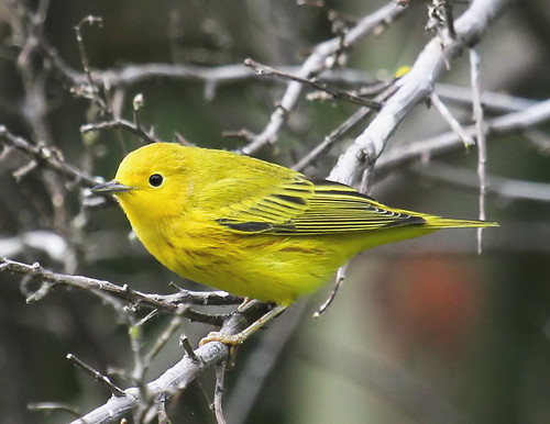 yellow warbler | by hawk person