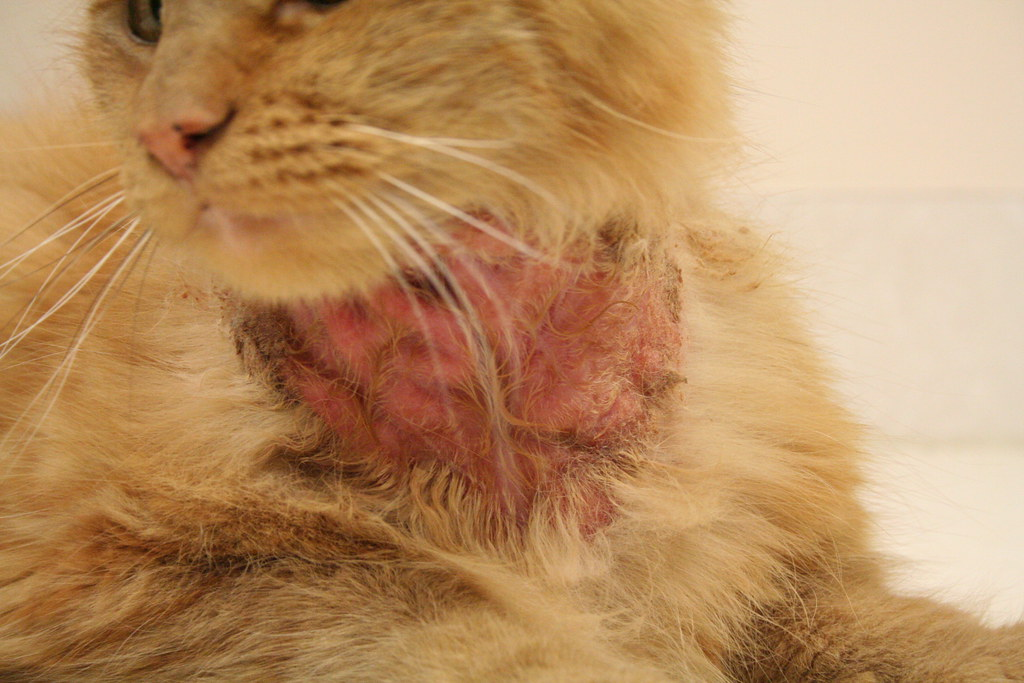 Flea Allergy Dermatitis Cat Came From A Home That Was
