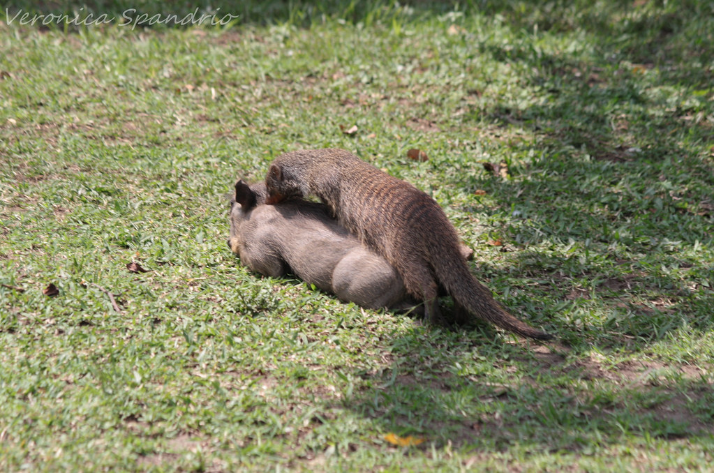 warthog and meerkat relationship help