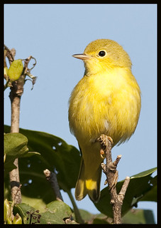 Yellow warbler 5 [Explored] | by Jen St. Louis