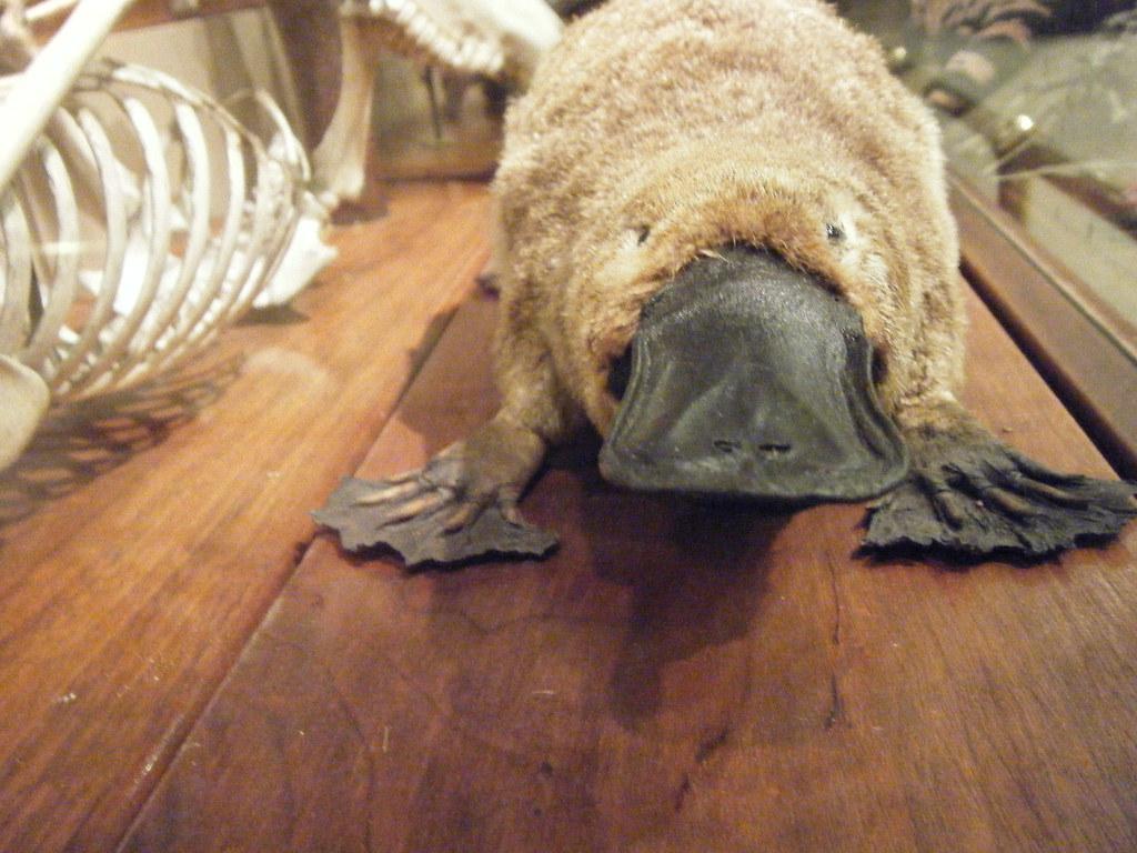 ornitorrinco australia