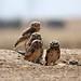 1burrowing owl dave harper oakley