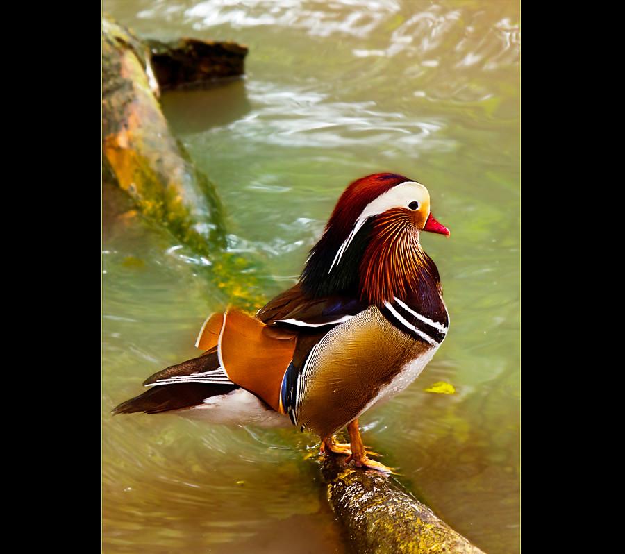 marreco mandarim sérgio pinto flickr