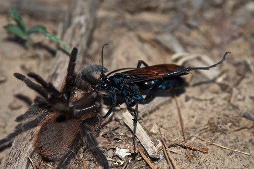 The Tarantula and the Tarantula Wasp | by Ethan Lundgaard