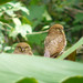 Jungle Owlet Couple
