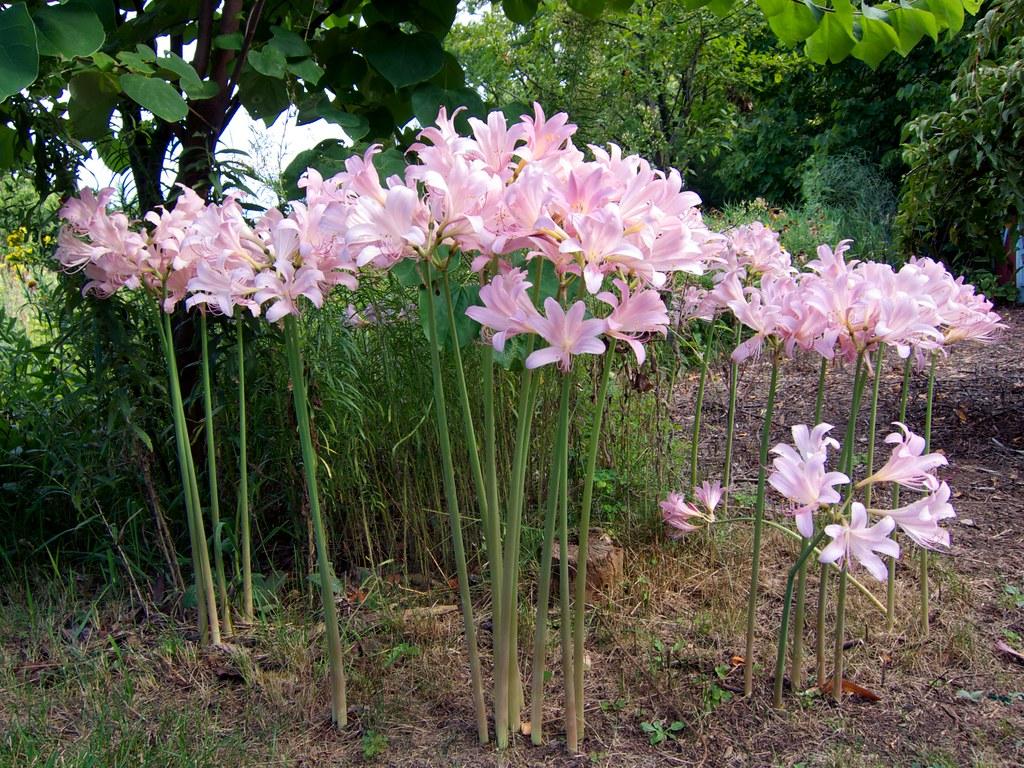 Lycoris squamigera 鹿蔥 夏水仙 beautifulcataya