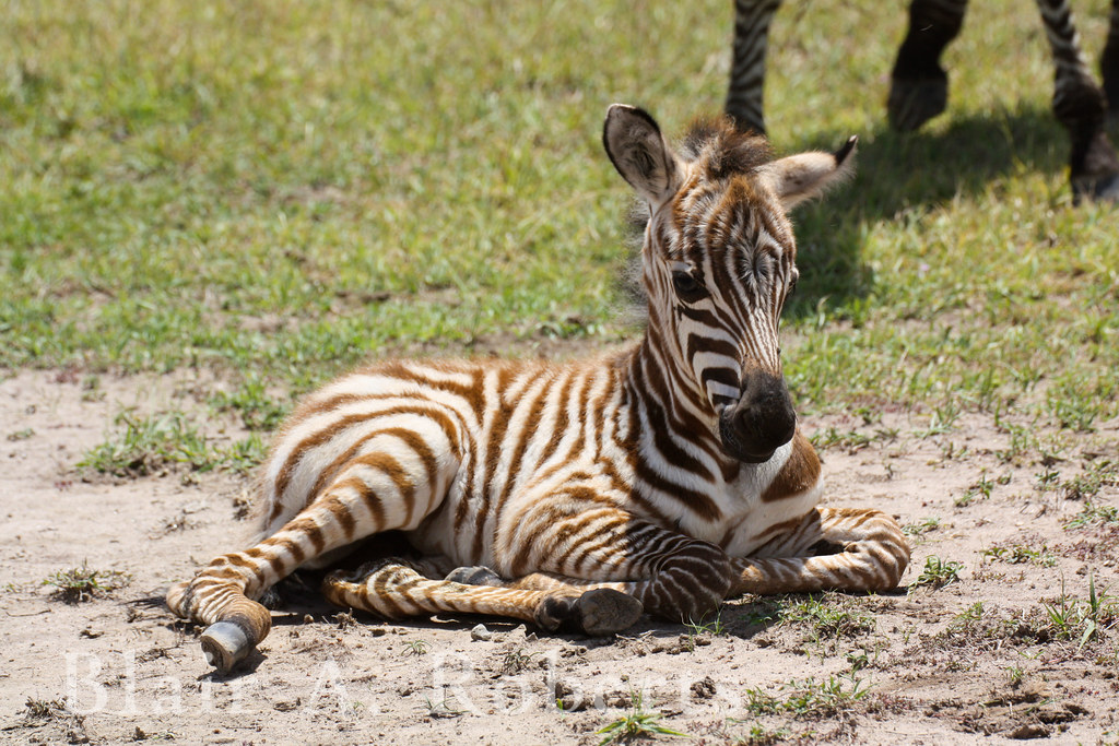 Newborn zebra blair roberts flickr