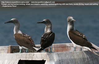Blue-footed booby Birding Peru 11 | by Nature Expeditions 02