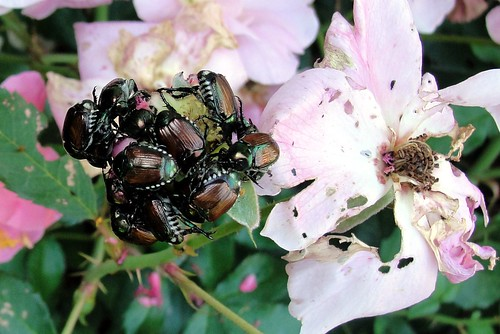 Beetle Lollipop -- Japanese Beetles Attack Rose Flower | by scostello22