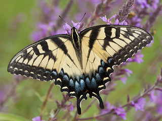 Eastern Tiger Swallowtail (Papilio glaucus) | by ER Post