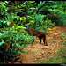 One of the first handheld photos of a living African golden cat