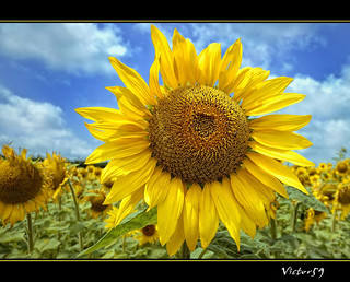 Sunflower | by sirVictor59