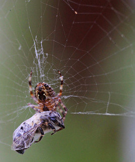 Spider's lunch | by Wilamoyo