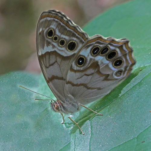 Southern Pearly-eye:  Pee Dee NWR Butterfly Count | by Will Stuart