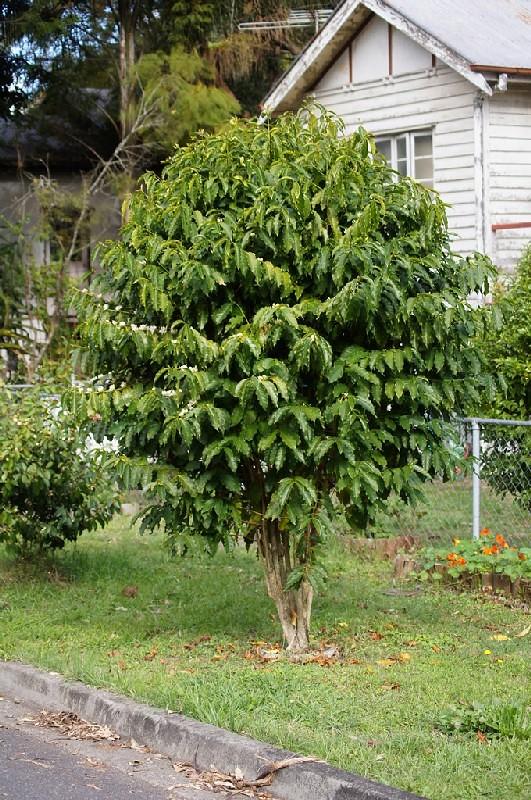 Coffea arabica tree tatters flickr for Coffea arabica