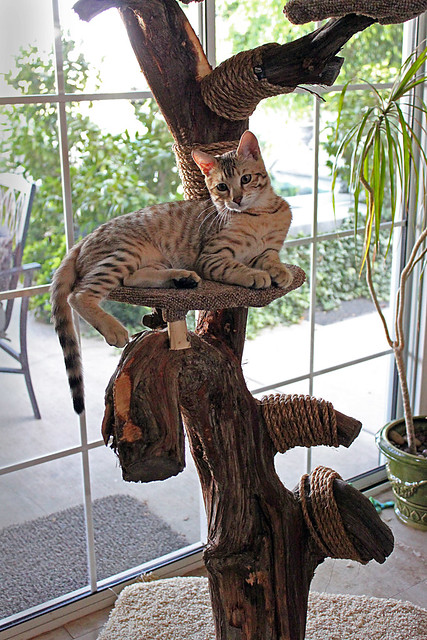 Dexter 39 s cat tree flickr photo sharing for Cool cat perches