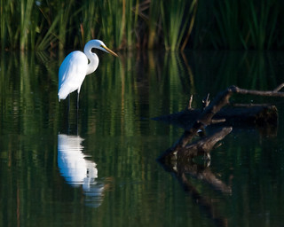 Great White Egret | by corkemup52
