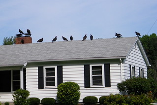 80/365/1175 (August 30, 2011) – Turkey Vultures on the Empty House (Saline, Michigan) | by cseeman