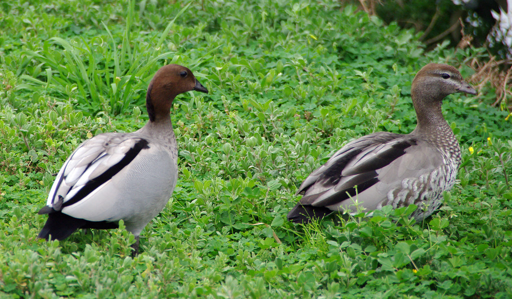 Australian Wood Duck Male And Female  This Photo Was -8301