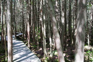 Atlantic White Cedar Swamp, near Marconi Beach, MA | by richgin6030