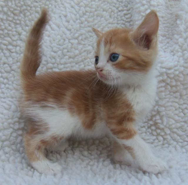 orange and white kitten flickr   photo sharing