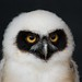 Phyllis the Spectacled Owl