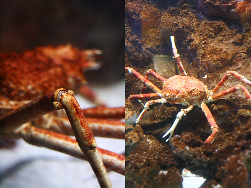 Spider Crab | by Xiaolu // 6 Bittersweets
