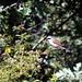 Alcaudón dorsirrojo (Lanius collurio) Red-backed Shrike