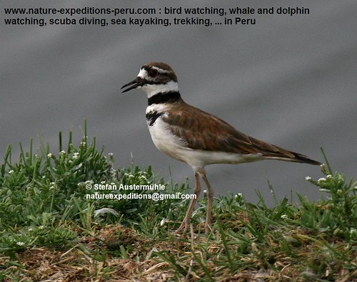 Killdeer Birding Peru (22) | by Nature Expeditions 04
