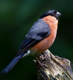 Male Bullfinch (Pyrrhula pyrrhula) | by Alan F17