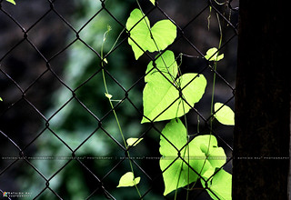 Leaves on Fence | by Sathish Raj™